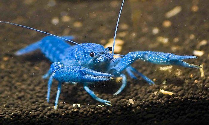 Флоридский голубой рак