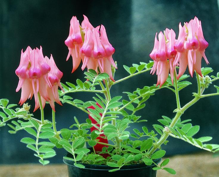 Pink potplant, Black Hill  ©M.Jusaitis