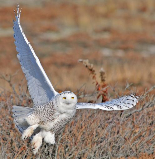 Snowy Owl on West Dennis Beach, MA by Jeremiah R. Trimble: Winter, News, Things Owl, Snowyowl West Dennis, Beach Ma, Beautiful Birds, Snowy Owl, Fascinating Owls
