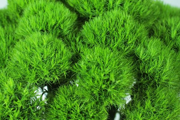 Green Ball or Green Trick Dianthus