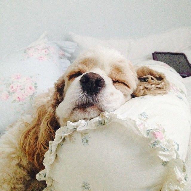 Sweet dreams, Barley the Cocker Spaniel