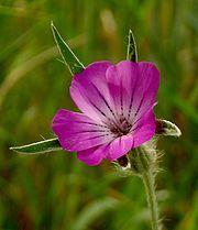 Aurankukka (Agrostemma githago)) kasvi on myrkyllinen.