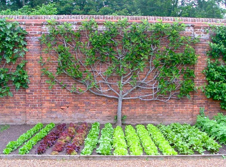 Espalier fruit tree in the kitchen garden #guidofrilli  fig tree and salads