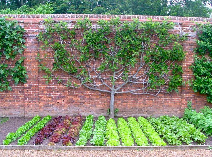 Spaljerat fikonträd och salladsland på Wolterton & Mannington Estate, Norfolk, England. Jag har haft trädgård sen nio år tillbaka och odl...