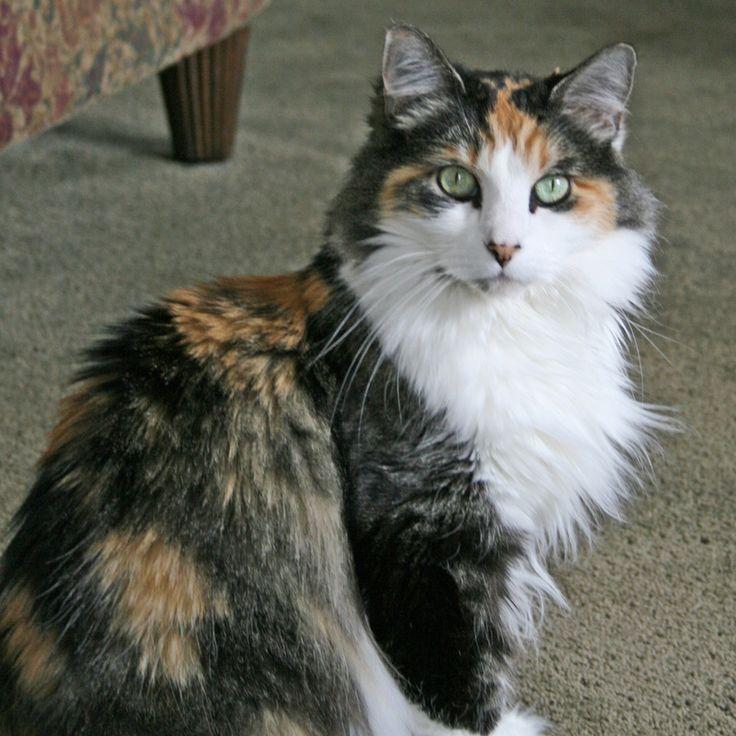 fluffy calico cat - photo #2