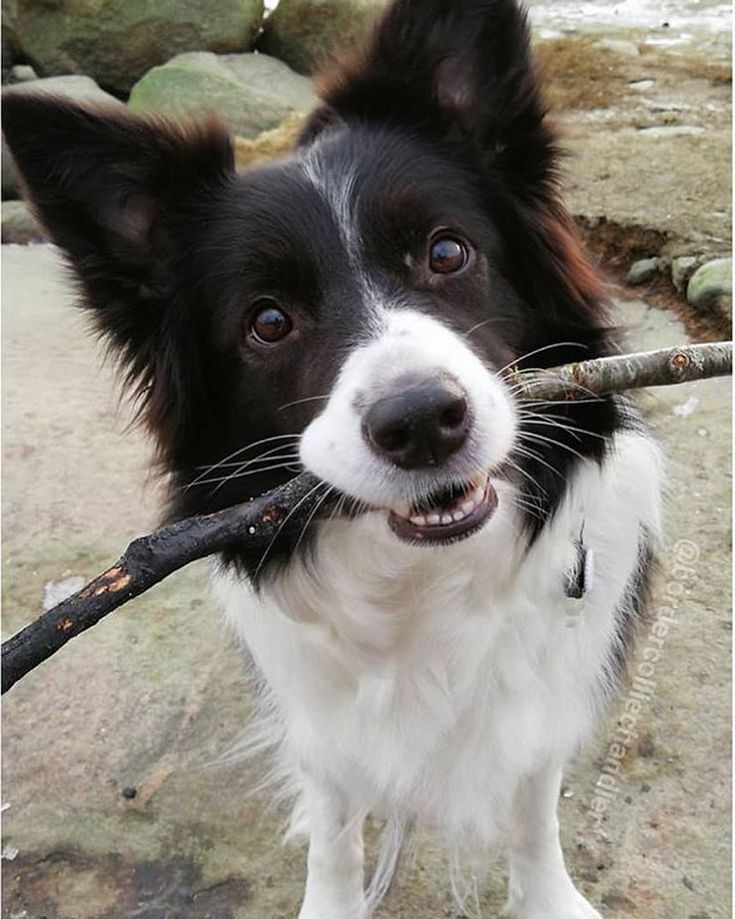 Border Collies Rock Dog Breeds Dogs Border Collie Dog