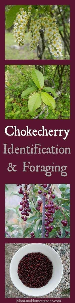 Chokecherry Identification & Foraging wild edibles and how to use chokecherries   Montana Homesteader:
