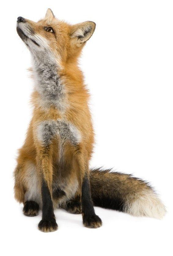 Een vos verliest wel zijn haren ,maar niet zijn streken.