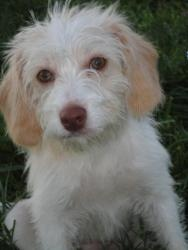 Annie is an adoptable Standard Poodle Dog in Winchester, KY. To learn more about Annie visit his own page here . NOTE: In order to be considered to adopt from our program, interested parties must comp...
