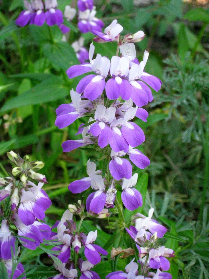 140 best california native gardens and plants i love for Best flowers to grow in california
