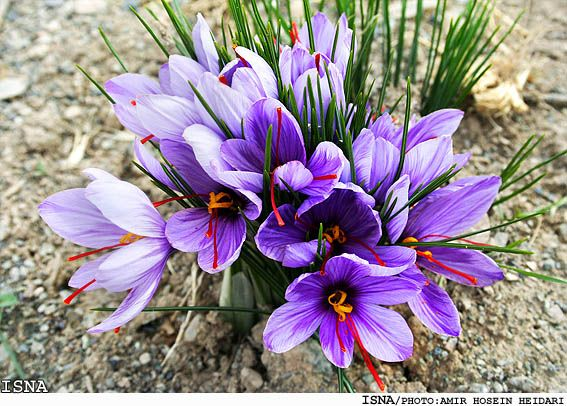 Saffron Crocus (Crocus Sativus), Birjand, Iran.  In case you were wondering where it came from.