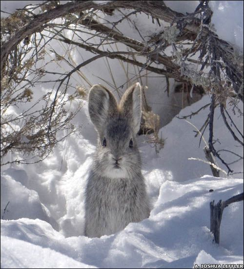 Untitled   gardeningacreativejourney: Hare in the snow!