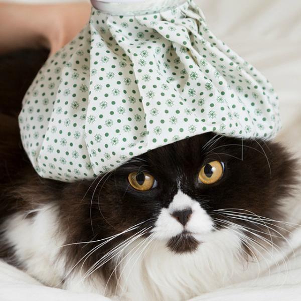 A febre em gatos - Causas e sintomas. A temperatura corporal normal de um gato…