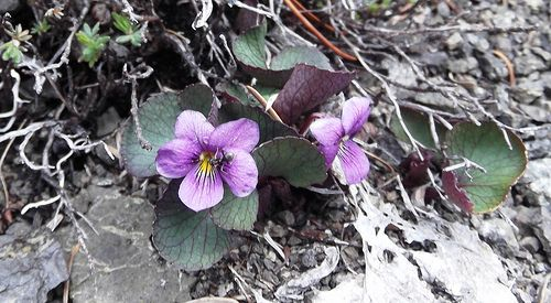 Viola flettii (Olympic Violet) with ant pollinating