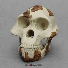 "Australopithecus afarensis Skull ""Lucy"" (light finish)"