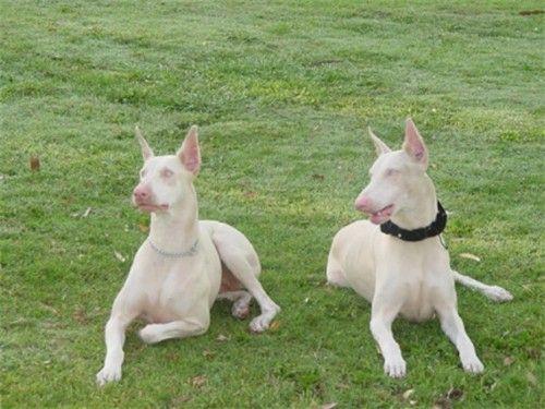 A pair of albino/white Doberman's