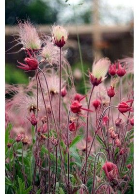 "Prairie Smoke / Geum triflorum The silky, flowing plumes of Prairie Smoke always gains devotees at first sight. When it is going to seed, the blossoms open up creating an effect that resembles smoke hovering over the plant itself. Blooming in spring to early summer, in well-drained, soils, it prefers full to partial sun. We grow ours in our ""scree"" garden which is made of nothing but sand and gravel!"