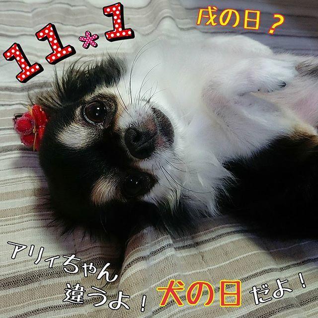 """#愛犬 #ラブアリィ 今日は戌の日💕ではなく """"犬の日""""だよ♡ฅ(・ω・ฅ)アリィちゃん♪ 早くリリィとの子供がみたいな~ #チワワ #ロングコート #dog #chihuahua #犬好き #11月1日 #戌の日 #犬の日 #子供 #楽しみ"""