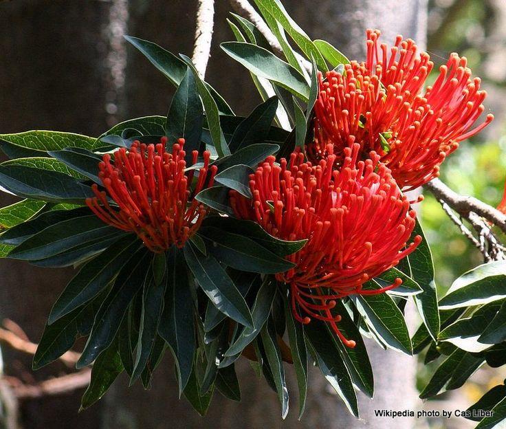 Alloxylon flammeum (Queensland tree waratah)