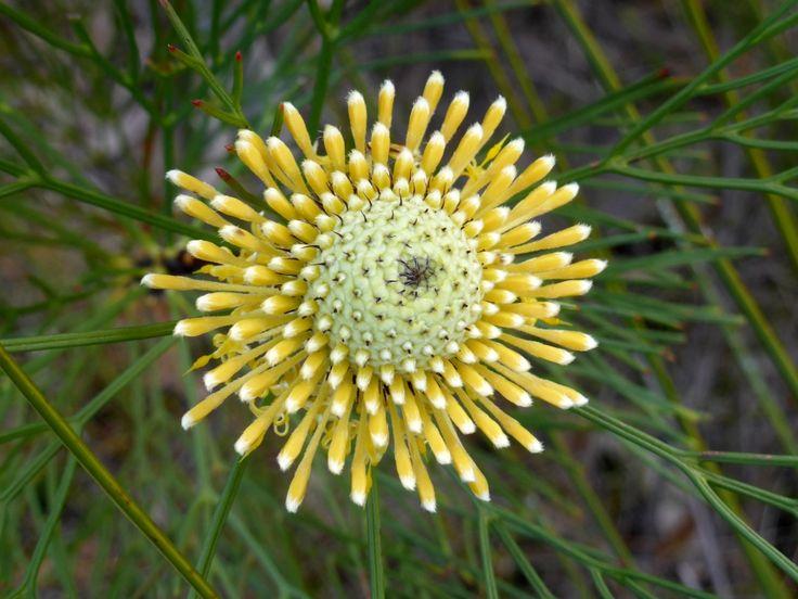 Isopogon flower