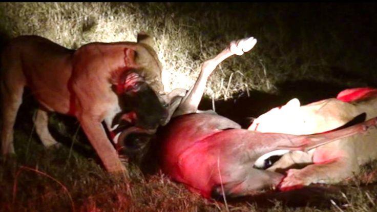 Жизнь львов. Охота львов/Night hunting of lions