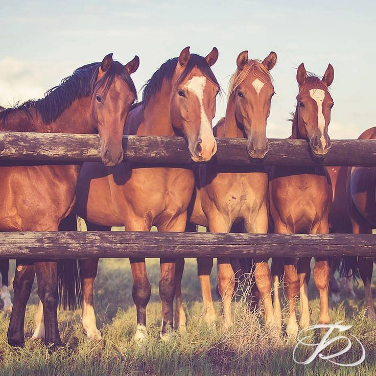 Curious horses