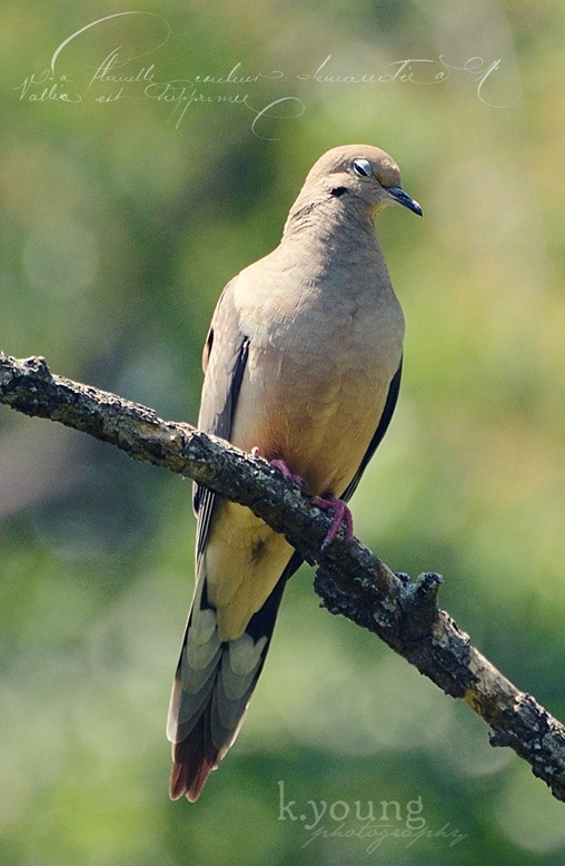 17 best images about mourning dove on pinterest call for Mourning dove tattoo