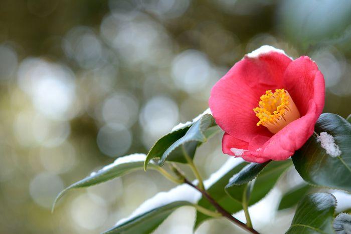 【東京】1月が見頃の冬の花と、花の名所まとめ:春の七草、雪吊りほか