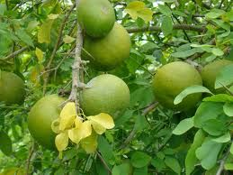 Can This Tibetan Herb Blend Prevent Root Canal Treatments? Bael fruit is one component of the Padma Basic Herbal Blend.