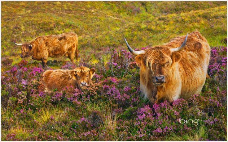 Scottish Highland Cattle Cow Wallpaper Scottish Highland Cattle Cow Wallpaper 1080p Scottish Highland Cattle Cow Wallp Highland Cattle Animals Funny Animals
