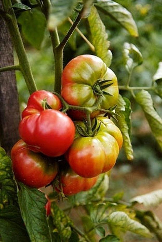 Organic Pink Brandywine Tomato Heirloom Vegetable Seeds 400 x 300