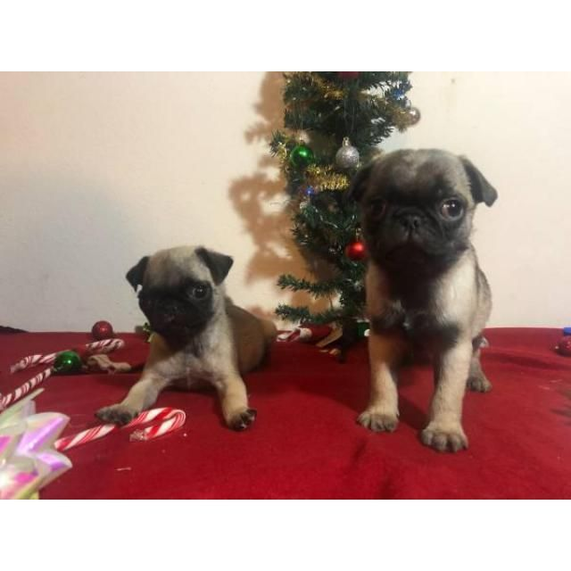 Pug San Antonio 8 Weeks Old Pugs They Are Super Cute Very