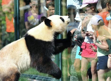 Гигантские панды, прибывшие зимой из Китая во французский зоопарк Боваль, полностью обжились на новом месте и стали местными «звездами».