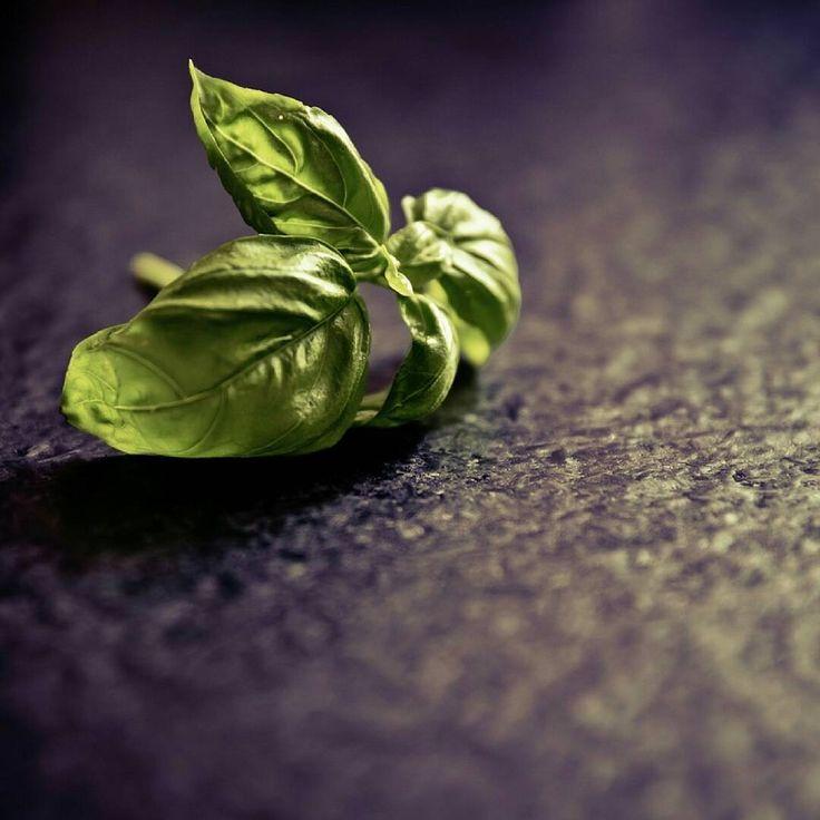 """foodnfarm_magAuf dem winterlichen Fensterbrett findet man oft Basilikum. Bei euch auch? 😊 🌱Es gibt tatsächlich etwa 65 Arten der Gattung Basilikum (Ocimum)! Mindestens 7 davon werden als Küchen- & Heilkräuter kultiviert. Neben dem Pfeffer gehört es zu den am meisten genutzten Gewürzen in Deutschland. Sein Name stammt vom griechischen Wort """"basilieus"""" (= der König). Damit die Pflanze nicht abstirbt, sollte man bei der Ernte nicht nur einzelne Blätter abzupfen, sondern immer die Stängel…"""