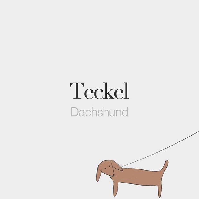 Teckel (masculine word) | Dachshund | /te.kɛl/  Drawing: @beaubonjoli. by frenchwords