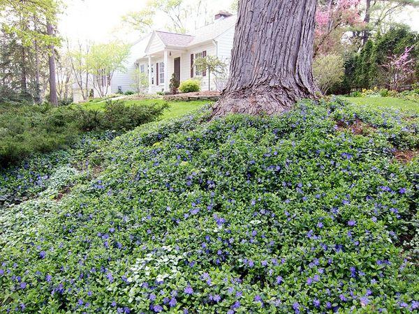 Vinca minor, periwinkle, under large shade tree - -Beautifulcataya