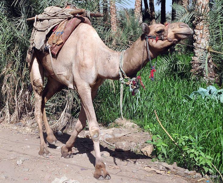 rachidH posted a photo:  Camel ~ Dromedary ~ Arabian camel ~ Camelus dromedarius ~ Dromadaire ~ Chameau d'Arabie ~ Saqqara, Dahshour, Memphis, Egypt