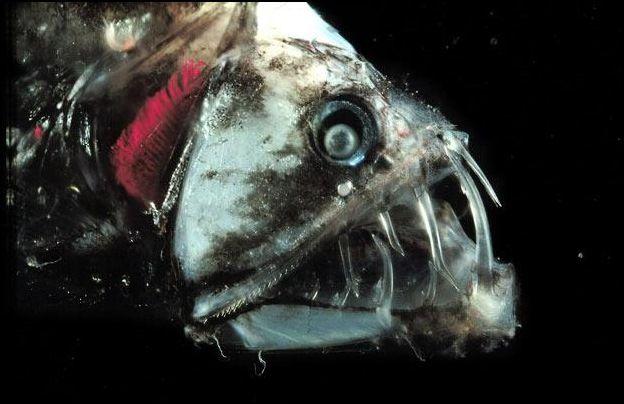 Pez dragon – Dragonfish