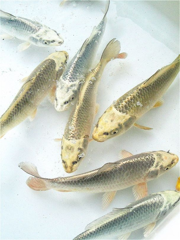 Gold and Silver Fish