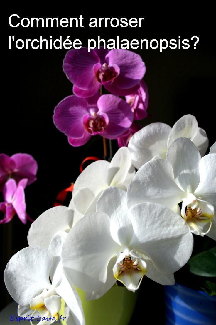 Comment Arroser L Orchidee Phalaenopsis Comment Entretenir Une