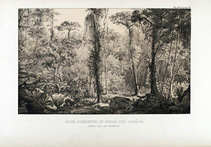 "carl friedrich philipp von martius - illustration plate from ""flora brasiliensis"": 'silva primitiva in serra dos orgãos, prov. rio de janeiro.'"