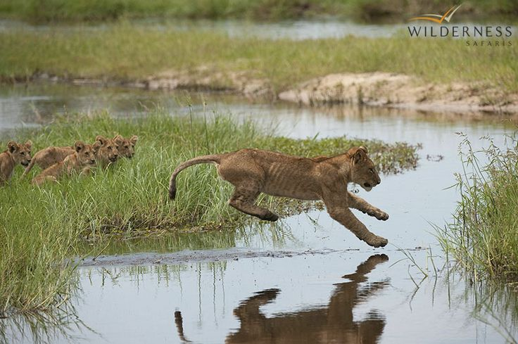 Little Mombo - Between March and May, when the waters arrive, large mammals are able to move into the Chief's Island area, which contains rich resources of grass and acacia woodland. This influx of herbivores attracts a wave of opportunistic predators to the area. #Africa #Safari #Botswana