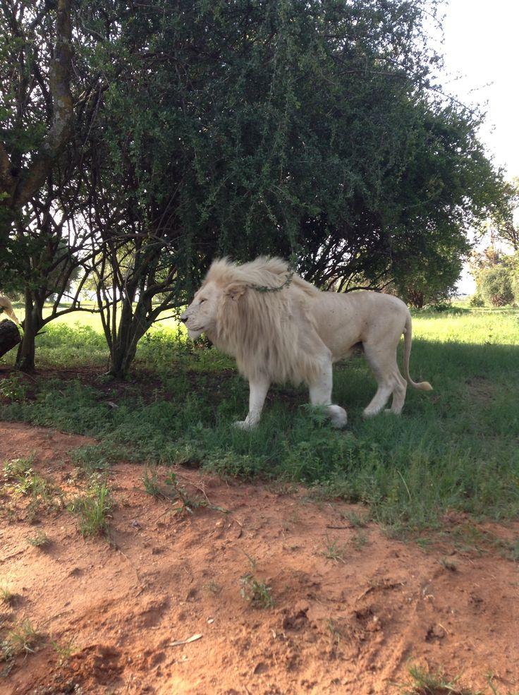 Lion at the lion park.