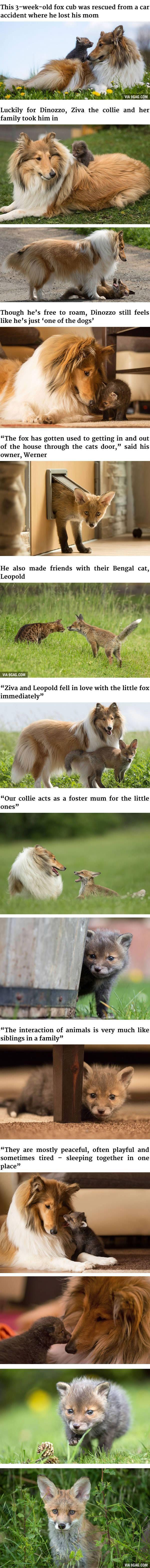 Fox cub taken in by a collie <3