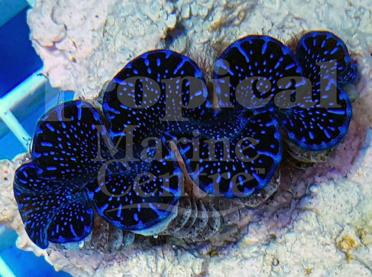 Cultured Blue Maxima - Squamosa Hybrid Clams!  Exclusively available @ TMC in Europe!  Clams are some of the most fascinating corals to have in your home aquarium!  Who'd like to put one of these stunning Clams in their reef tank?  https://reefbuilders.com/2015/09/24/ora-serving-fantastic-hybrid-maxima-clams/?utm_content=bufferce22c&utm_medium=social&utm_source=pinterest.com&utm_campaign=buffer  #TMC #Tropicalmarinecentre #TMCLookForTheLabel #Marine #Clams #Squamosa #Maxima #HybridClams…