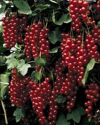 Red Lake CurrantBeautiful clusters of fruit as red as rubies. Red currants are best known for wonderful jellies, but with their bright red colour they also make a shinning addition to summer salads and drinks. Red lake is very productive and one of the best tasting red currants. Hardy to zone 2. Produces fruit in 2 –3 years. No. 1 sized plants.