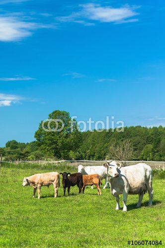 Kühe und Kälber auf sommergrüner Weide unter blauem Himmel, Landwirtschaft, Rinderhaltung, Viehwirtschaft, grüne Wiese, ländlicher Raum - #106074084
