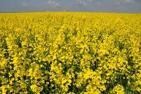 Biodiesel is non-toxic and environmental friendly. The technology is not new as the transesterification of a vegetable oil was conducted as early as 1853 by Patrick Duffy.