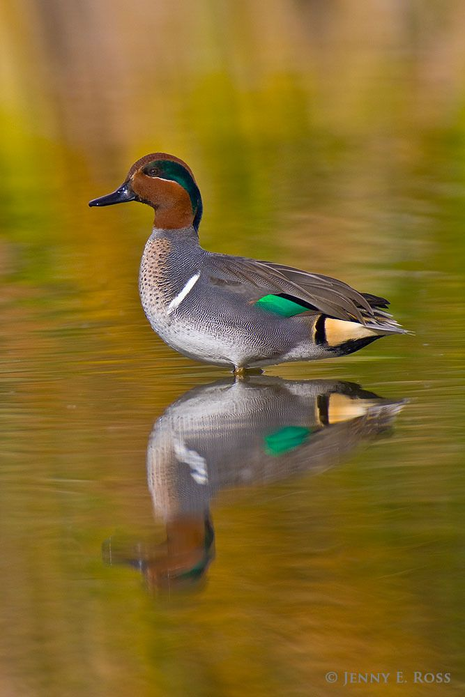 An adult male green-winged teal (Anas crecca) in breeding plumage, resting in a marsh. This dabbling duck is a migratory species that breeds...