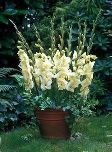 gladiolus in pots - Yahoo Image Search Results